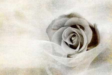 monotone: Sweet rose monotone painting style. Stock Photo