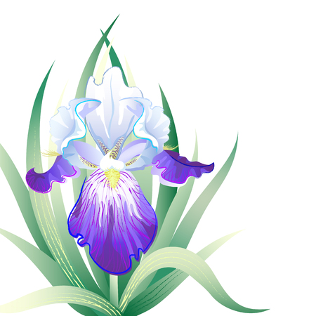 iris flower: Vector greeting card with violet Iris flower on the white background