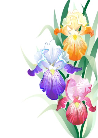 Vector greeting card with violet,orange and vinous Iris flowers on the white background
