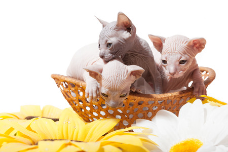 Don sphynx kittens in the straw basket on the white background with sunflowers photo