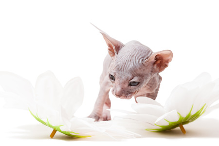 Don sphynx kitten with camomiles on the white  photo