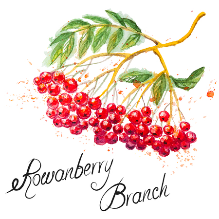 branch isolated: Beautiful hand drawn watercolor branch of Rowanberry, isolated on the white background Illustration