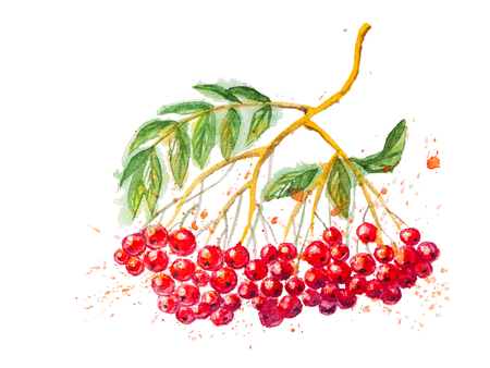rowanberry: The Red Watercolor Rowanberry Branch - hand drawn watercolor illustration,isolated on the white background Stock Photo