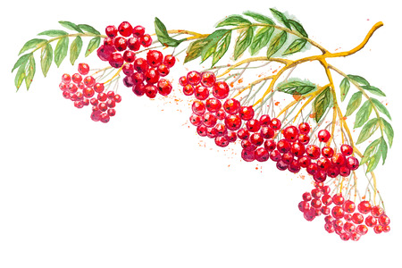 Vector composition with rowanberry branch Illustration