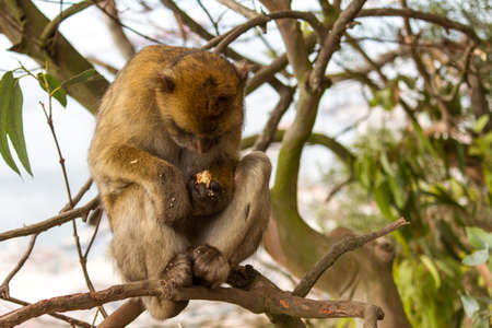 The Monkey or Barbary ape or magot (Barbary Macaque Linnaeus, 1758) is a primate mammal Belonging to the Cercopithecidae family. And the mascot of Gibraltar. Legend has it That British rule over the Mediterranean port will last as long as ? ? this monkey Stock Photo