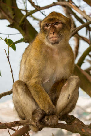 barbary ape: The Monkey or Barbary ape or magot (Barbary Macaque Linnaeus, 1758) is a primate mammal Belonging to the Cercopithecidae family. And the mascot of Gibraltar. Legend has it That British rule over the Mediterranean port will last as long as ? ? this monkey Stock Photo