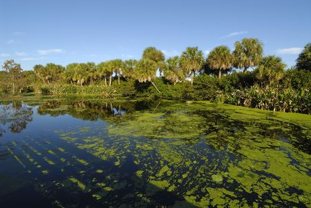 swampland: Florida swampland in morning