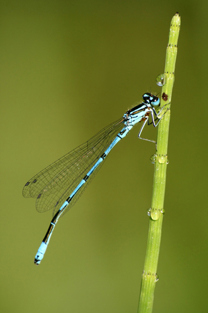 zygoptera: Macro of dragonfly Coenagrion puella