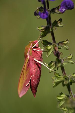 Close-up of night butterfly Deilephila elpenor photo