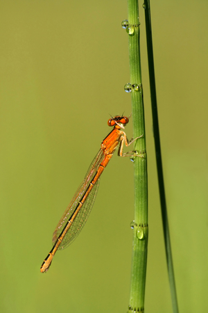 zygoptera: Close-up of damselfly Ischnura pumilio