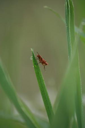 glitch: Fly Scatophaga stercoraria