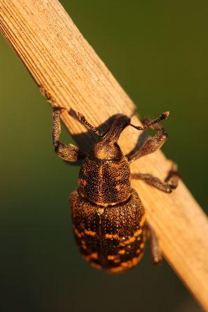 abietis: Close-up of snout beetle Hylobius abietis