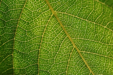 Texture, background of leaf Stock Photo - 1906816