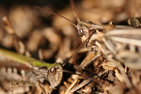 Two grasshopper lovers photo