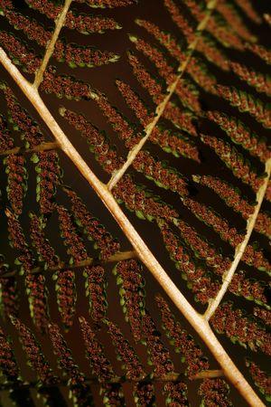 sporen: Close-up der braunen Farn Blatt aus Naht Seite - mit Spore