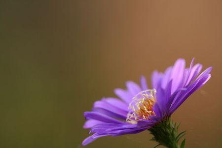 Closeup of beautiful blue aster photo