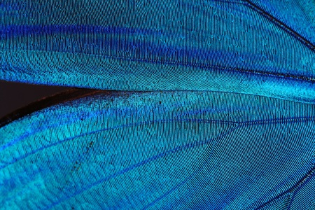 Abstract blue texture of shiny butterfly wings - morpho