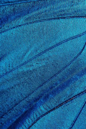 Abstract blue texture of shiny butterfly wing - morpho