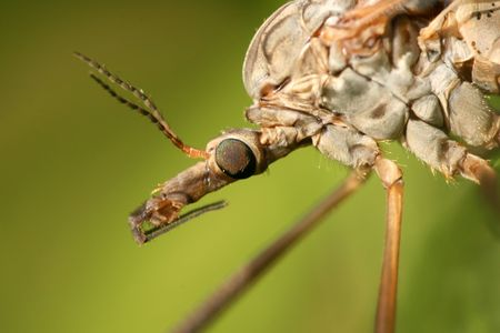 Extreme closeup of cranefly Tipula maxima