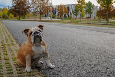 english bulldog posing before the camera while resting from his walk