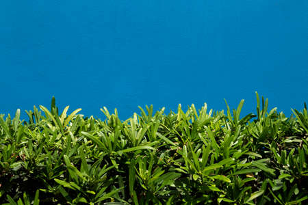 Blue wall, green grass bush wallpaper