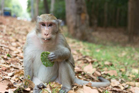 Wild long tail macaque monkey in the forest of Cambodia
