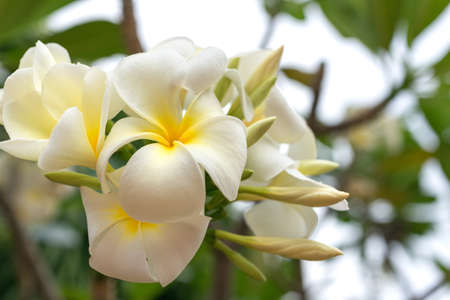 White flowers of champa plumeria, close up, in tropical garden 스톡 콘텐츠