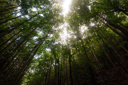 Mahogany Man-Made Forest in Bilar, Bohol, Philippines. Sun rays shine through canopy
