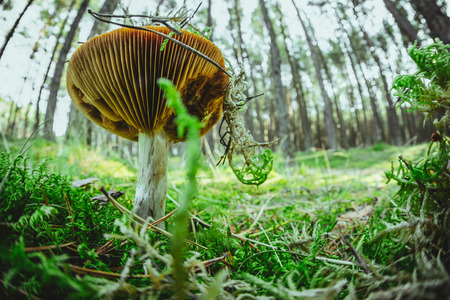 Lonely wild mushroom in a forest Stock Photo - 87966407