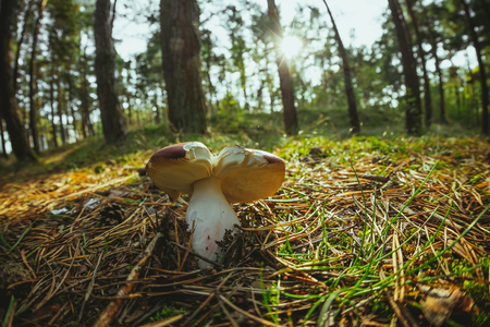 Lonely wild mushroom in a forest