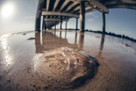 dead jelyfish on the shore