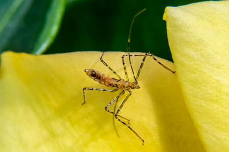 Dangerous mosquito on a yellow flower petal