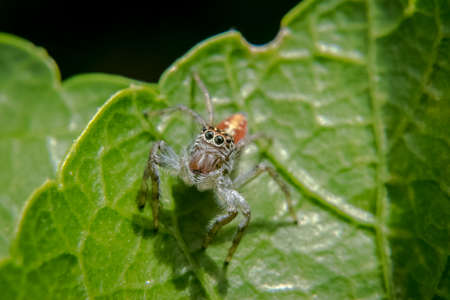 Jumping spider waiting for prey on a plant leaf Stock Photo