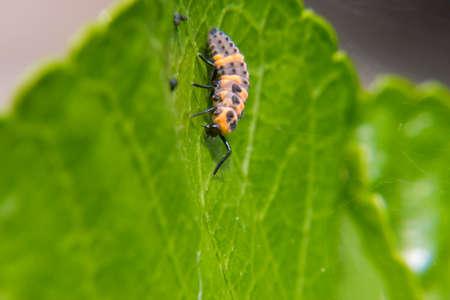 Ladybug larva walking on a leaf Stock Photo