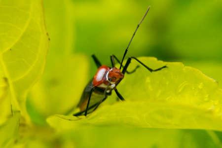 toxicity: Red lygaeidae plague on a leaf