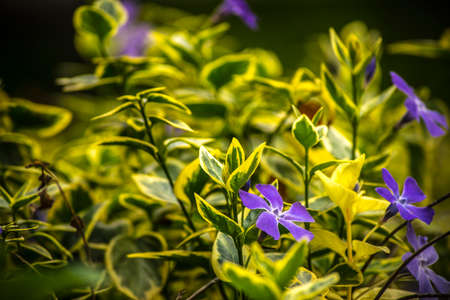 Violet periwinkles in a garden Stock Photo