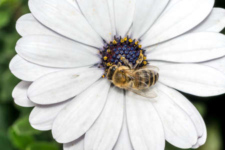 Bee on white flower with violet stamen and pollen