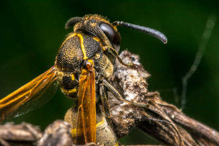 Wasp coming out from its cocoon Stock Photo