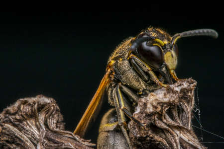 apocrita: Wasp coming out from its cocoon Stock Photo