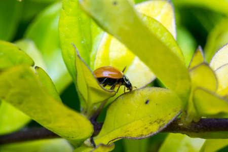 Brown lady bug on tree leaves