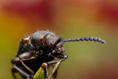 long horn beetle: Ugly long horn bug walking on a leaf Stock Photo