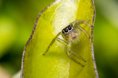 eight legs: Tiny cute jumping spider on a tree leaf