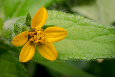 Tiny yellow chrysogonum virginianum flower in the wild