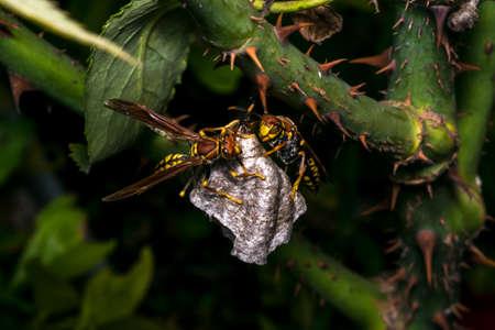 Dangerous wasps building a new nest