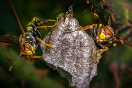 危険なスズメバチの巣作り