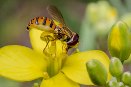 Tiny episyrphus balteatus insect on a yellow primrose flower