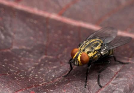 hairy legs: Yellow house fly on a red tree leaf