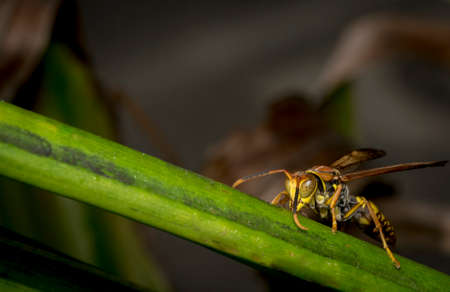 Yellow and black striped wasp resting on a tree leaf Stock Photo