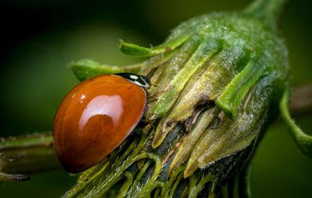 Orange ladybug walking on a flower bud