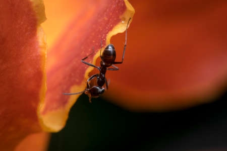 Ant cleaning itself while hanging on a flower petal